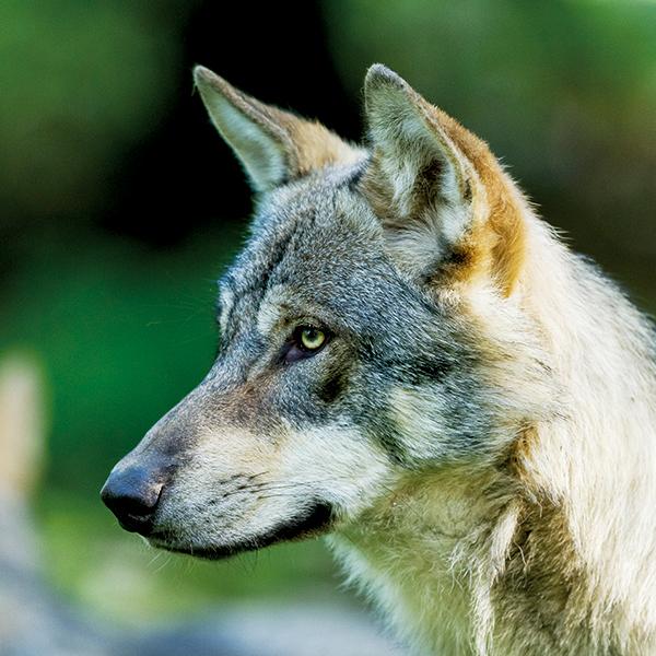 Tatzmania Wolf