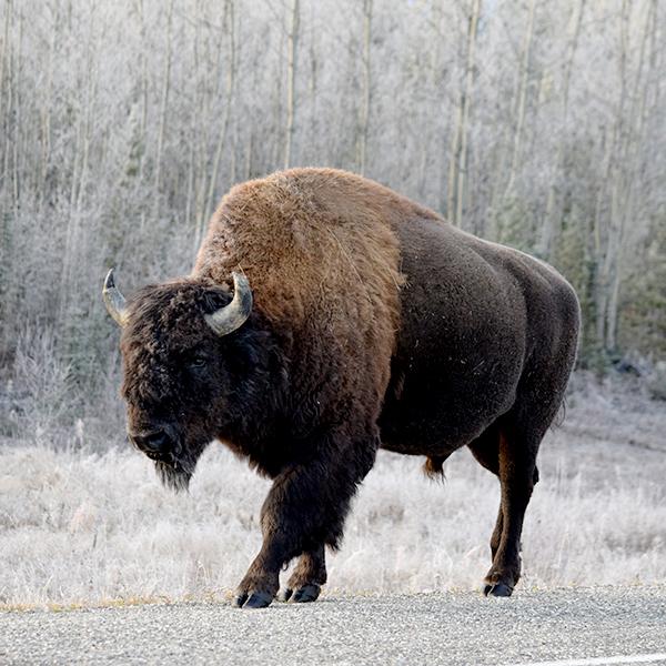 Tatzmania Bison