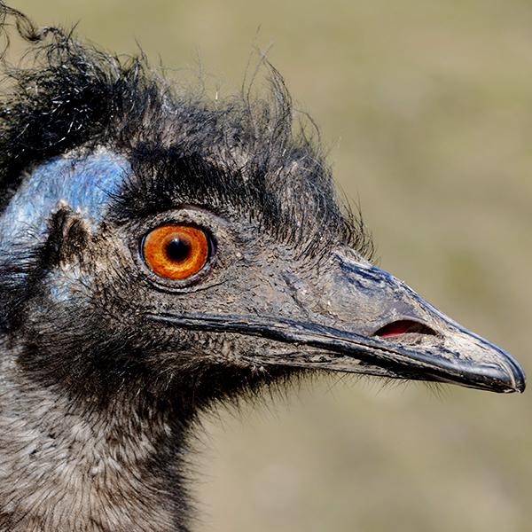 Tatzmania Emu