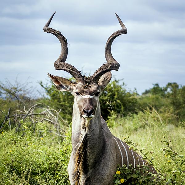 Tatzmania Kudu