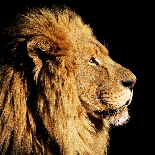 Tatzmania Löwe