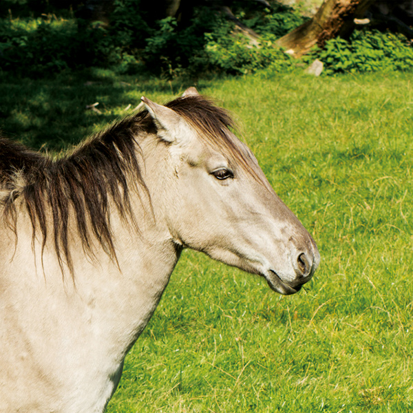 Tatzmania PonyPferd