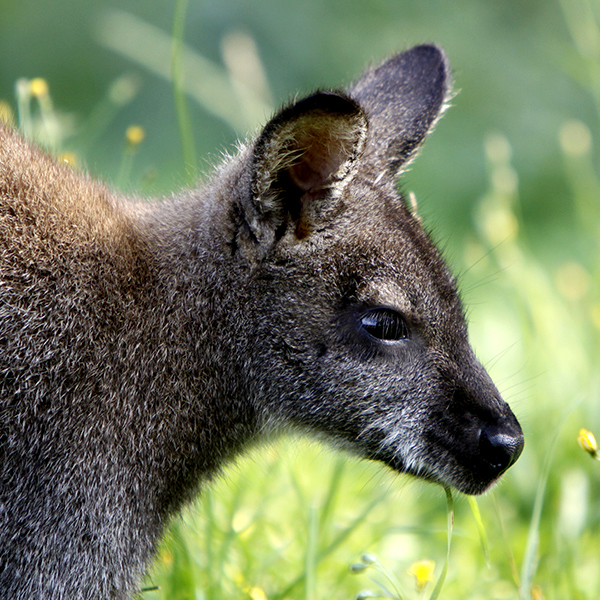 Tatzmania Wallaby