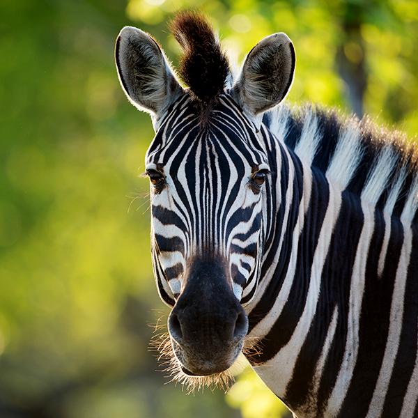Tatzmania Zebra